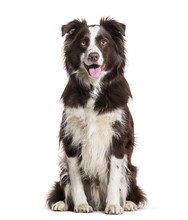 Border Collie Dog, 2 Years Old, Sitting Against White Background