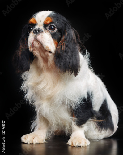 Fotografía Cavalier King Charles Spaniel dog on Isolated Black Background in studio