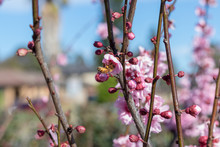 Cherry Blossoms Blooms With Bumble Bee Pollinating