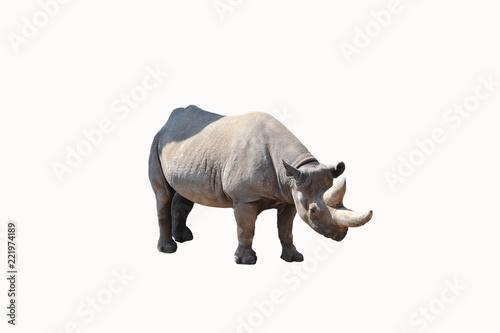 Nashorn isoliert posend vor Kamera
