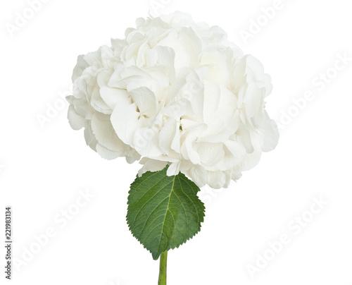 Foto op Plexiglas Hydrangea White hydrangea on white