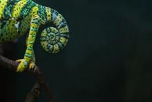 Chameleon. Chameleon Tail