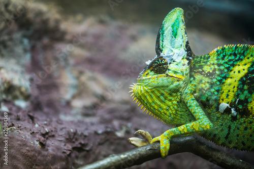 chameleon. muzzle of a chameleon