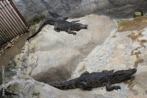 Saltwater crocodile or Estuarine crocodile (Crocodylus porosus)