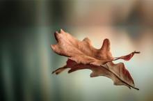Dry Oak Leaf In Autumn