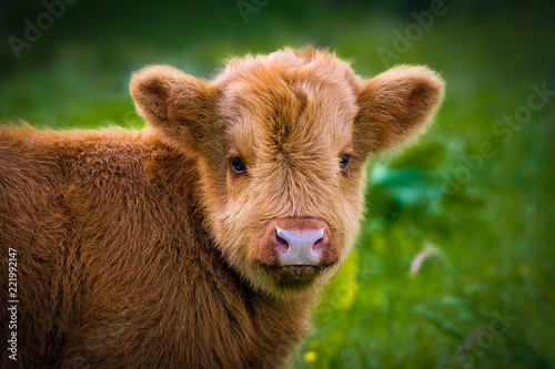 Cuadros en Lienzo close up of a scottish highlander calf looking  into the camera