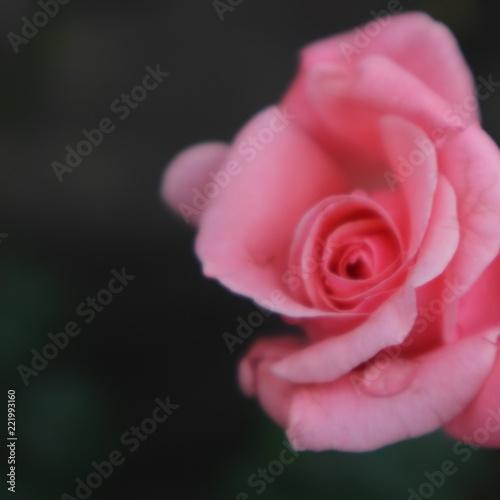 Fototapeta pink rose obraz na płótnie
