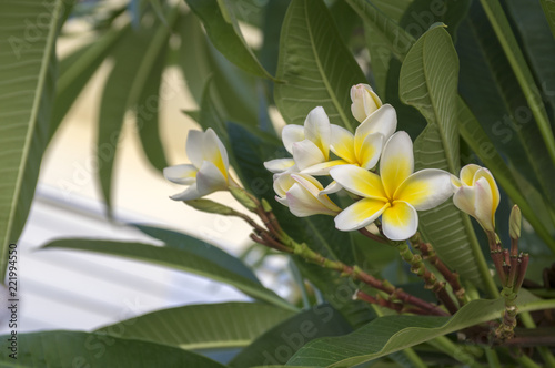 Deurstickers Frangipani Plumeria alba tropical evergreen shrub flowers in bloom, white yellow flowering plant