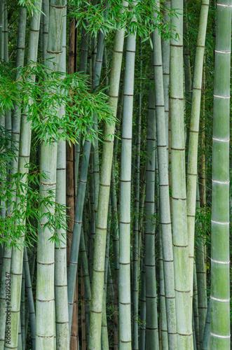 Bamboo forest ,Arashiyama Kyoto Japan.