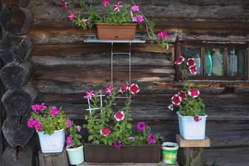 Fototapeta na wymiar flowering petunia on the wall