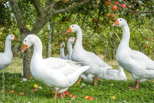 Fotografie, Tablou White geese under an apple tree