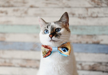 Portrait Of White Fluffy Blue-eyed Cat In A Bow Tie Against A Vintage Wooden Wall