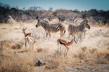 Gruppe Zebras Und Springböcke...
