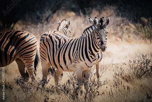 Zebra Portrait, Etosha National Park, Namibia