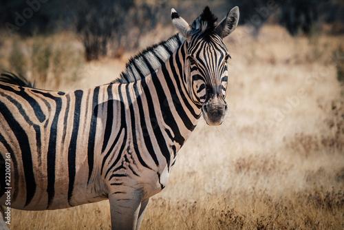 Tuinposter Zebra Zebra Portrait, Etosha National Park, Namibia