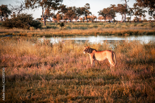 Staande foto Leeuw Mighty Lion watching the lionesses who are ready for the hunt in Masai Mara, Kenya (Panthera leo)