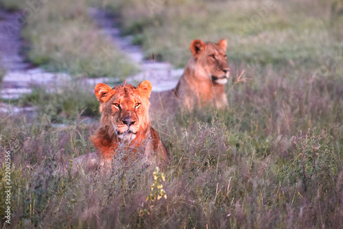 Foto op Plexiglas Leeuw Mighty Lion watching the lionesses who are ready for the hunt in Masai Mara, Kenya (Panthera leo)