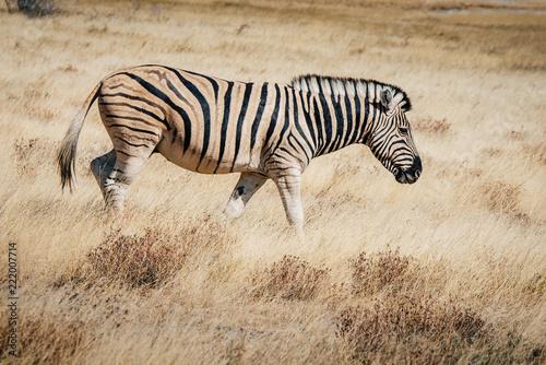 Tuinposter Zebra Zebra streift durch das Gras, Etosha National Park, Namibia
