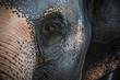 Eye of Asian Elephant (Elephas maximus). Close Up View
