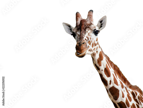 Photo sur Toile Girafe Giraffe looking into the camera, close up