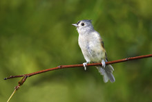 Tufted-titmouse Perched On A T...