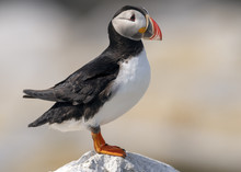 Atlantic Puffin On A Rock On M...