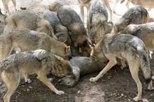 Wolfrudel Mit Beute