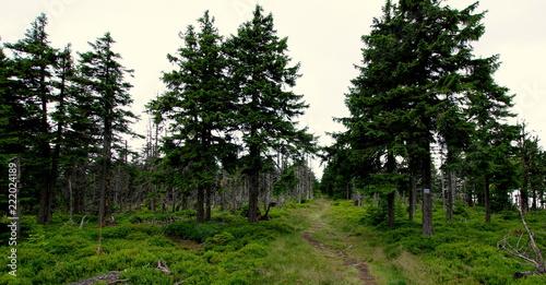 Tuinposter Weg in bos Ścieżka prowadząca przez świerkowy las - spacer niebieskim górskim szlakiem