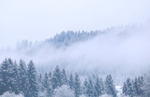 Winter Coniferous Forest In Fog