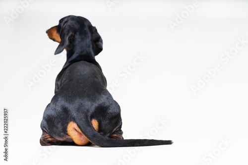 Cuadros en Lienzo dog breed of dachshund, black and tan looking straight, from behind showing back