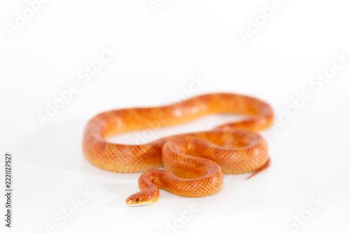 Beautiful corn snake isolated on white background