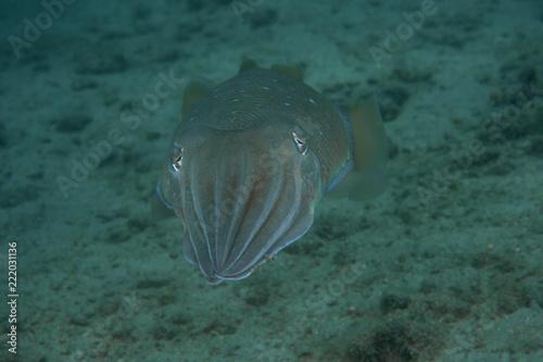 Fotografie, Obraz  Pharaoh Cuttlefish, Sepia Pharaonis.
