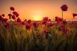 Beautiful poppies in a wheat field on sunrise