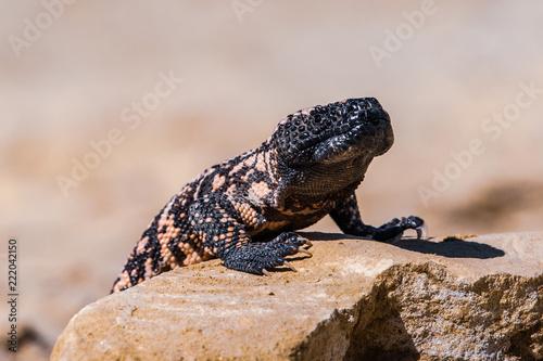 Photographie  Lizard Gila Monster( Heloderma suspectum)
