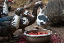 Domestic Ducks Stand At The Feeder And Keep In Their Beaks Food