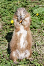 Single Black-tailed Prairie Dog (cynomys Ludovicianus) Standing Upright Eating A Pretzel While Watching Out For Danger