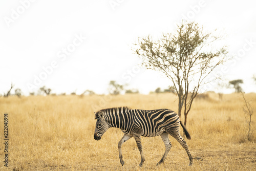 Foto op Aluminium Zebra Young zebra is shambling through the savannah at Kruger Nationalpark, South Africa