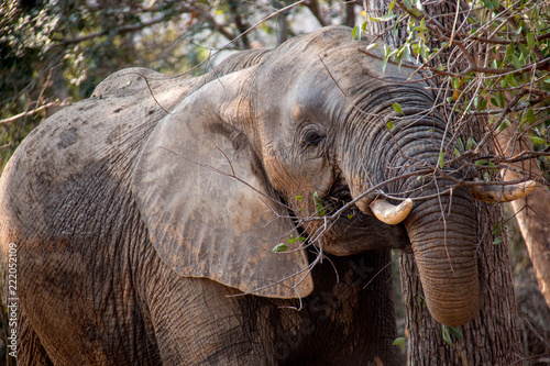 Foto op Aluminium Olifant Large Wild African Elephant Eating Shrubs and Leaves from a Tree