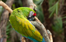 Vibrant Green Macaw Is Groomin...