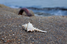 Pointy Seashell On The Seaside...