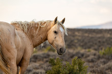 Wild (Feral) Mustangs In The Colorado High Desert