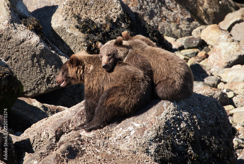 Photo  Wild Brown Grizzly bears in Alaska