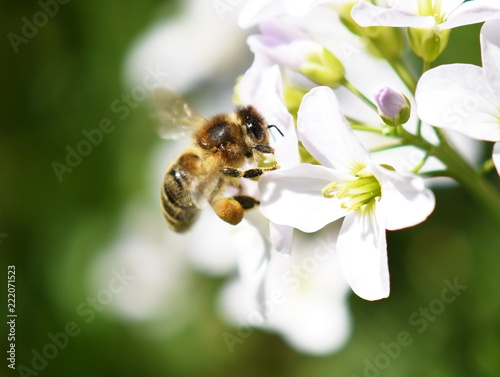 Canvas Print Honey bee Apis mellifera collecting pollen in a cuckooflower