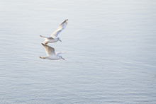 Couple Of Black Headed Gulls Fly Above The River.