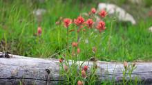 Indian Paintbrush Flowers In U...