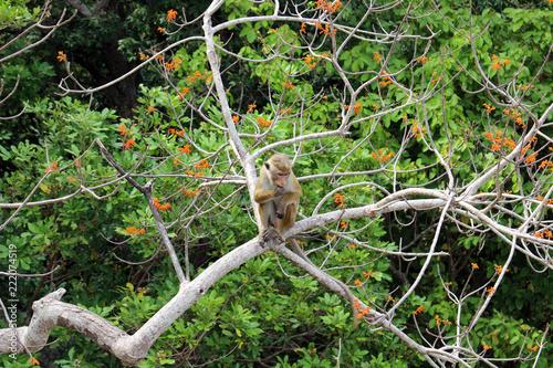 Foto op Canvas Aap The Lankan monkey around Pidurangala Rock, near Sigiriya