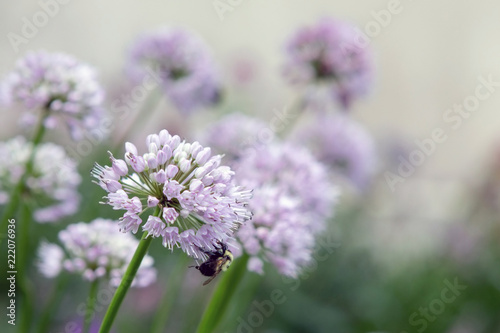 Fototapety, obrazy: Purple round flower with bee
