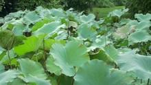 Lotus Leaf Smooth Pan From Rig...