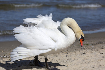 A beautiful white swan on a sandy beach in Sopot, Poland.