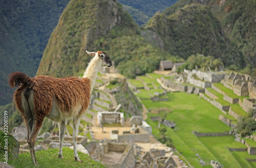 Staande foto Lama Llama looking at Machu Picchu